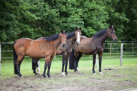 three warmblood horses on pasture