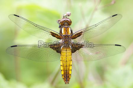 weibliche plattbauch libelle libellula depressa
