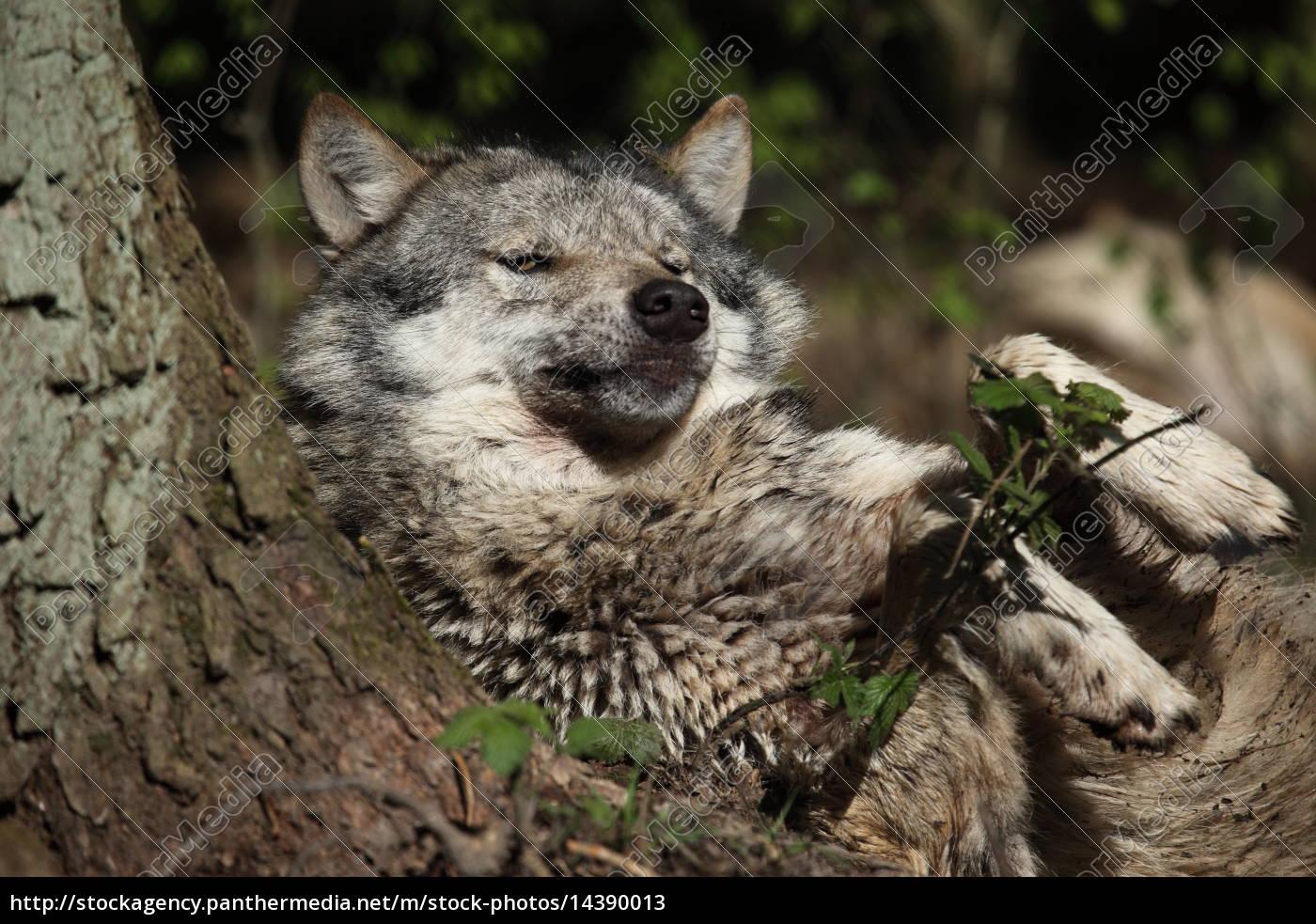Eurasischer Wolf im Wald - Stockfoto - #14390013 - Bildagentur ...
