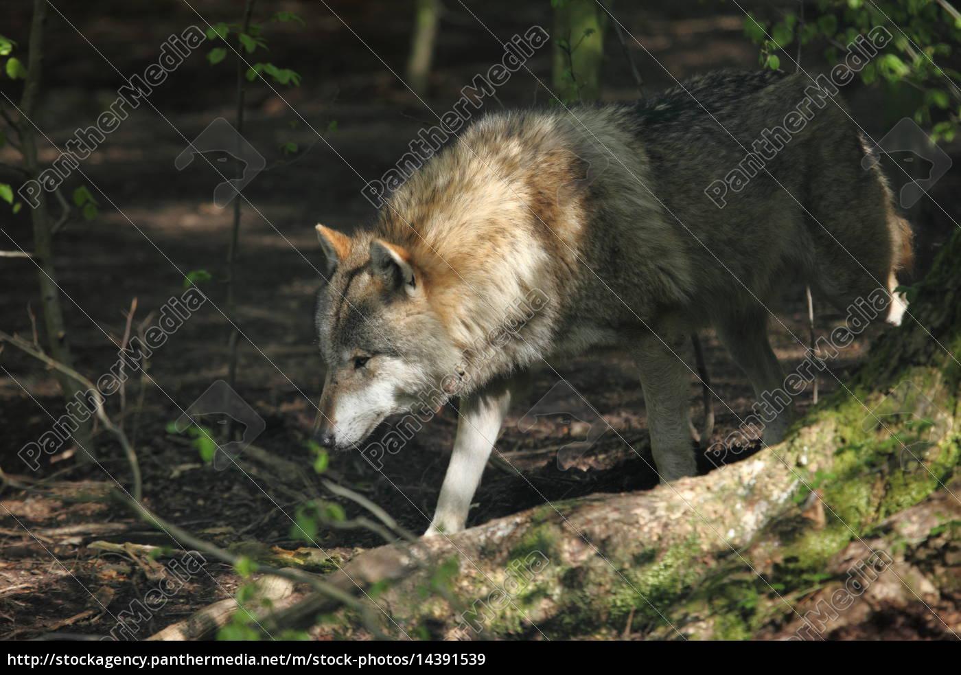 Eurasischer Wolf im Wald - Lizenzfreies Bild - #14391539 ...