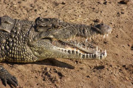 crocodile portrait