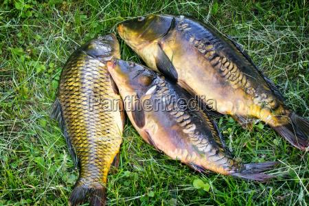 fische die im fluss gefangen werden