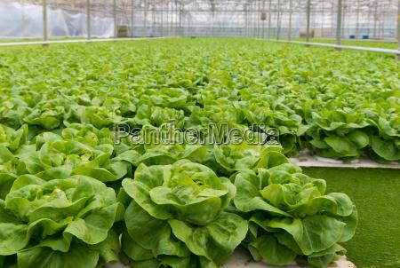 gruenem salat