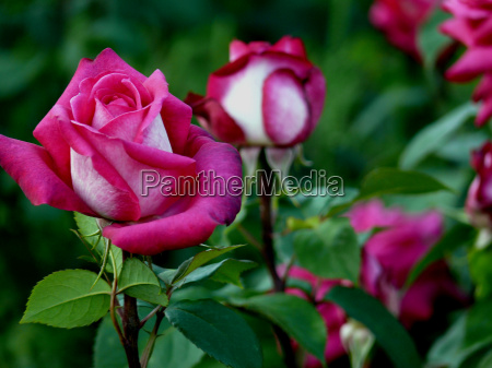 rose 18