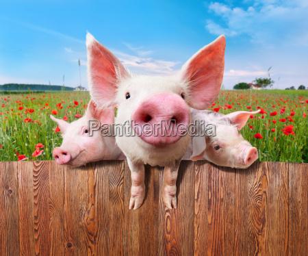 drei reiz schweine aus wunderbare bauernhof
