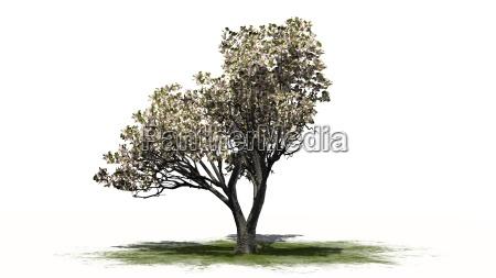 apfelbaum mit blueten auf weissem hintergrund