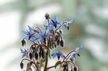 borage borago officinalis flowers and buds