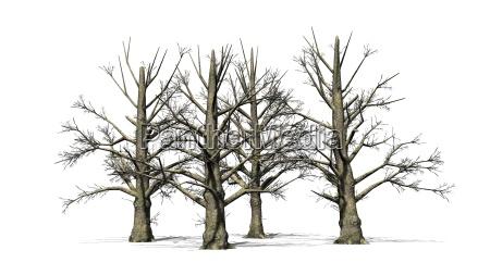 magnolienbaum im winter auf weissem hintergrund