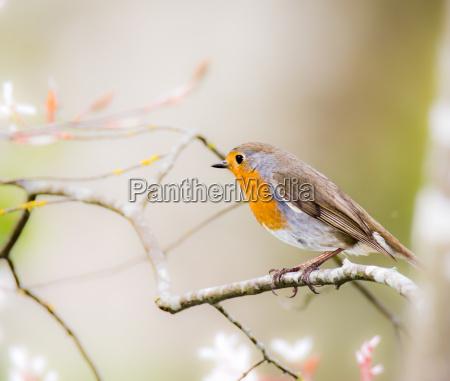 europaeischer robin vogel auf einem baumzweig