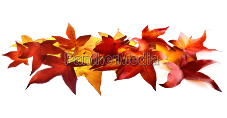 autumn leaves fall on white background