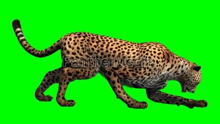gepard auf gruenem hintergrund