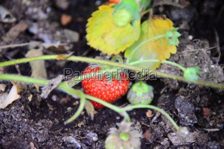 rote reife erdbeere