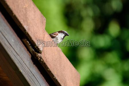 sparrow auf dem dach