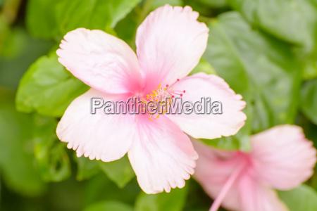 hibiskus ist eine gattung bluehender pflanzen