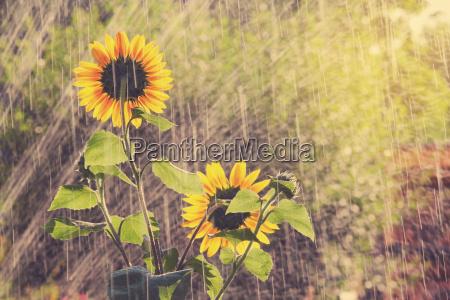 garden watering sunflowers