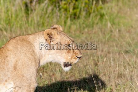 junge loewin auf savanne gras hintergrund