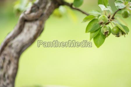 gruene AEpfel an einem bonsai apfelbaum