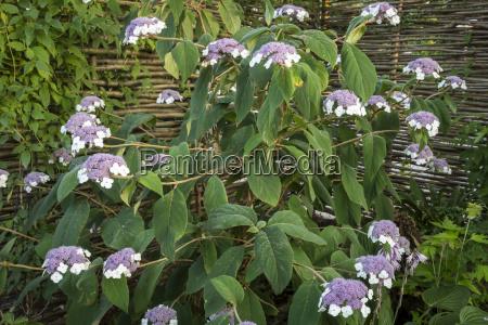 flowering velvet hydrangea hydrangea sargentiana