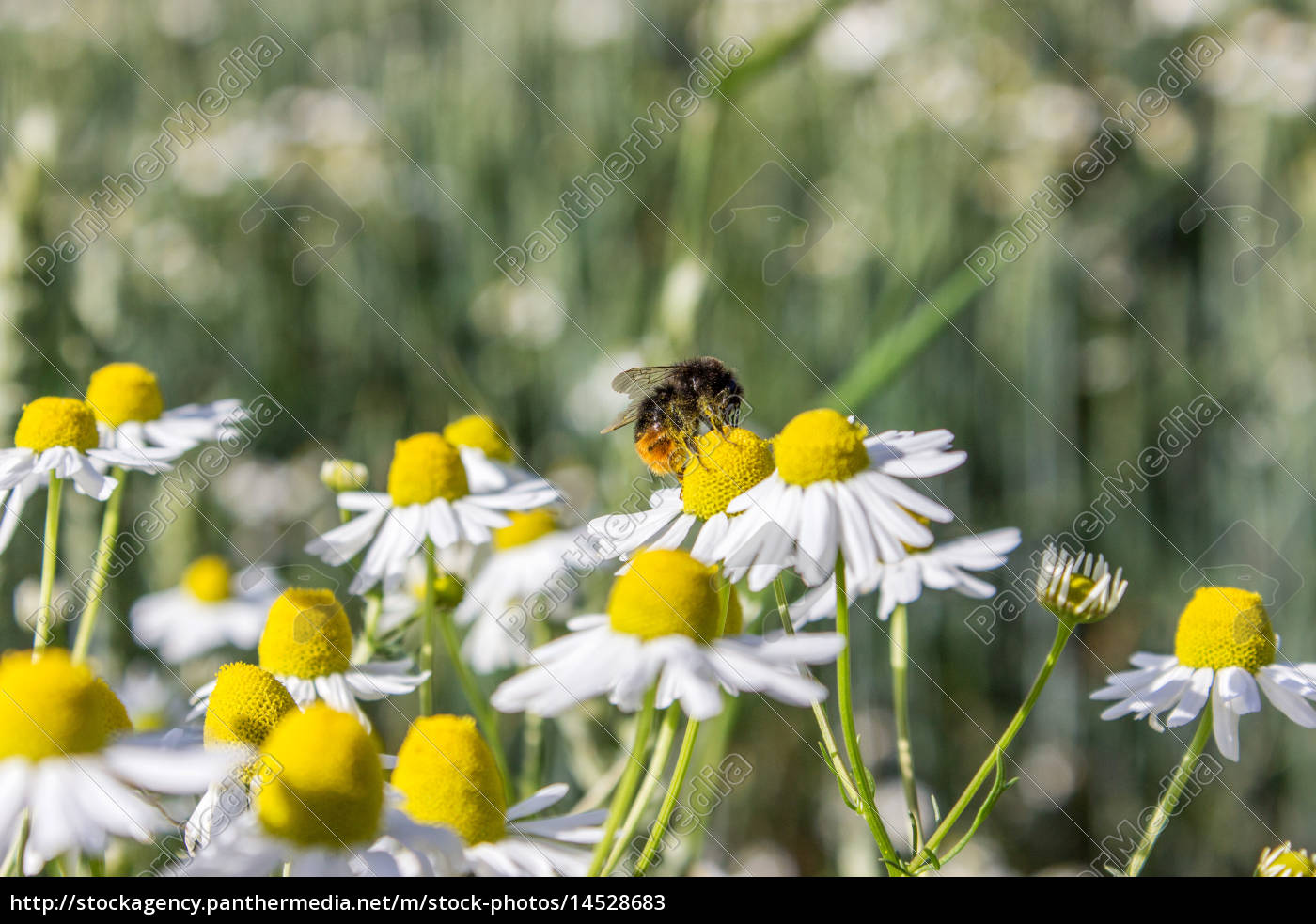 camomile, on, the, field, with, a - 14528683