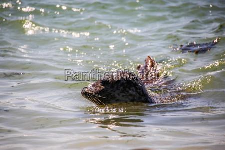 schwimmende kegelrobbe in der nordsee