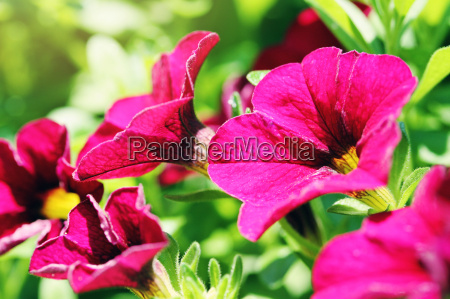 beautiful closeup of purple petunias
