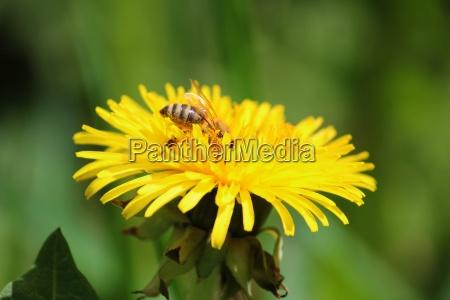 loewenzahn mit honigbiene