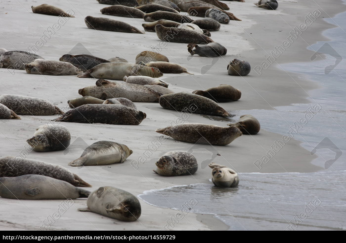 Düne, Helgoland, Kegelrobben, Robben, Säugetier, Wasser - 14559729