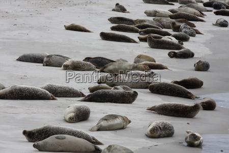Düne, Helgoland, Kegelrobben, Robben, Säugetier, Wasser - 14559733