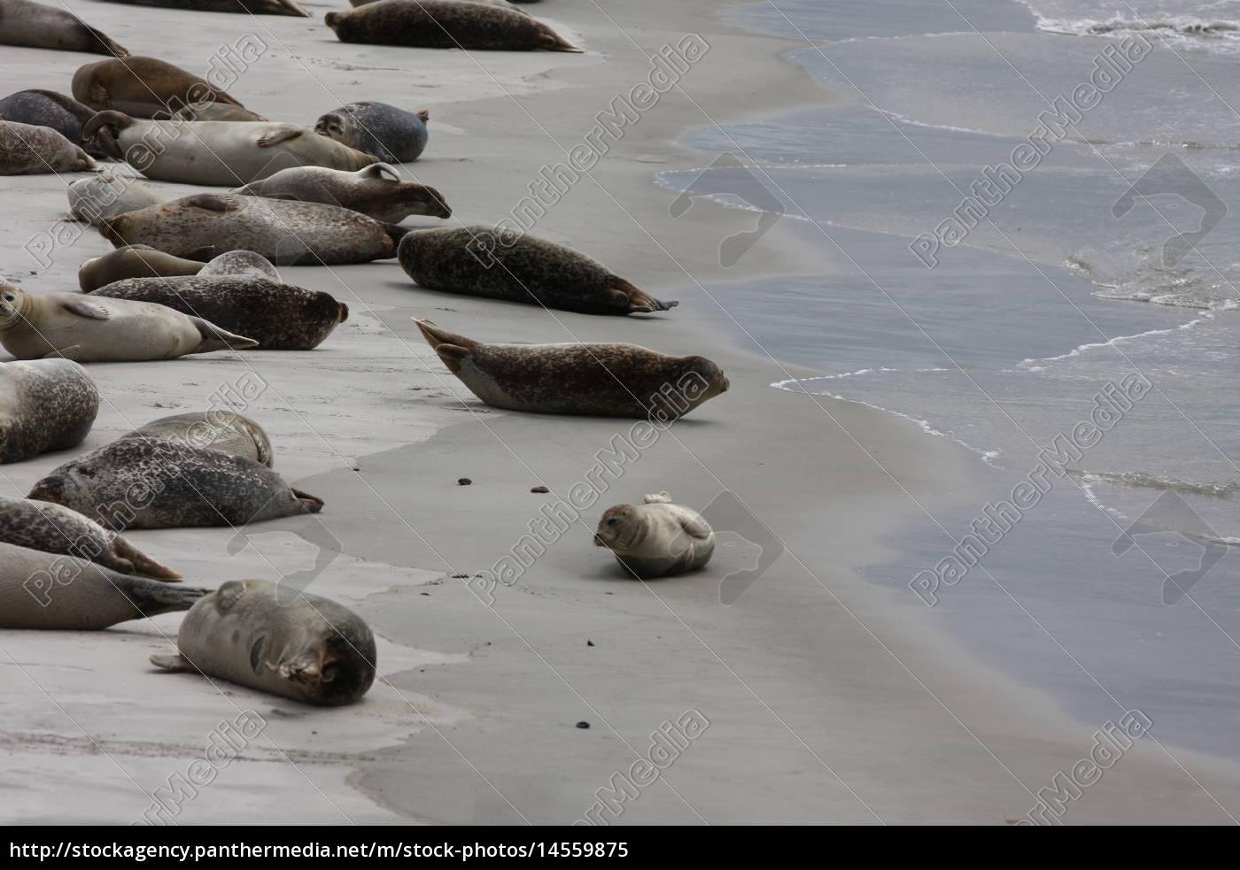 Düne, Helgoland, Kegelrobben, Robben, Säugetier, Wasser - 14559875