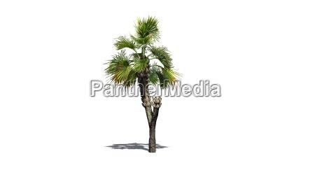 palmetto palme auf weissem hintergrund