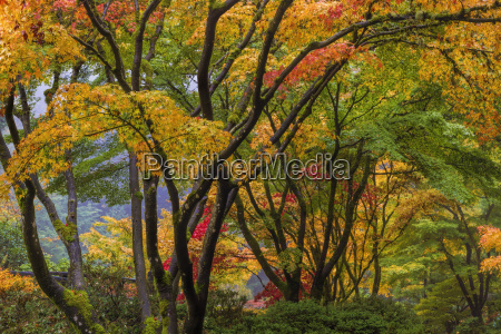 japanese maple tree canopy