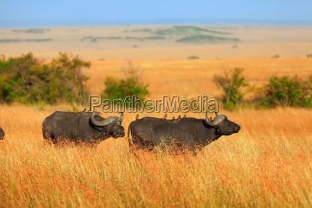 bueffel in masai mara bueffel in