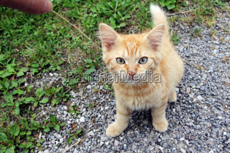a young bright red kitten a