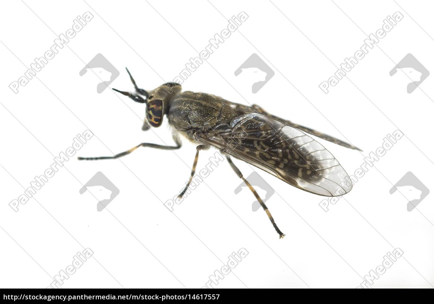 bremse bremsen fliege rinderbremse insekt stockfoto. Black Bedroom Furniture Sets. Home Design Ideas