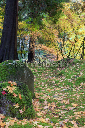 japanese maple tree leaves on rocks