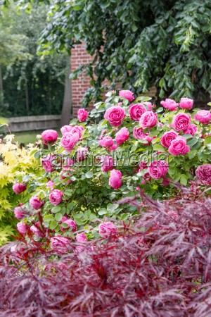 flower garden with pink roses