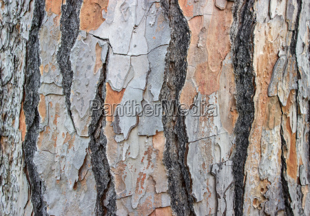 bark of a pine tree
