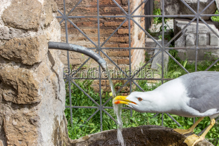 a thirsty seagull drinking water in