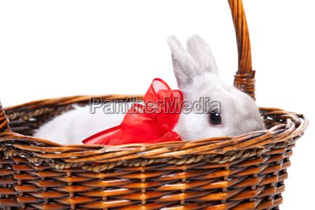 weisse kaninchen mit band weisses kaninchen