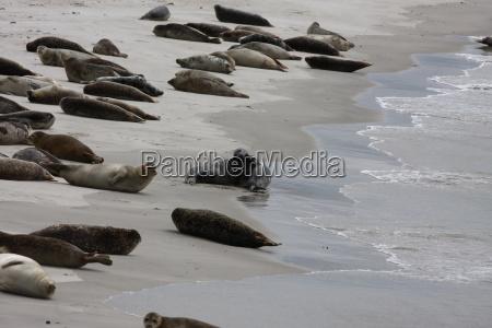 Düne, Helgoland, Kegelrobben, Robben, Säugetier, Wasser - 14667609