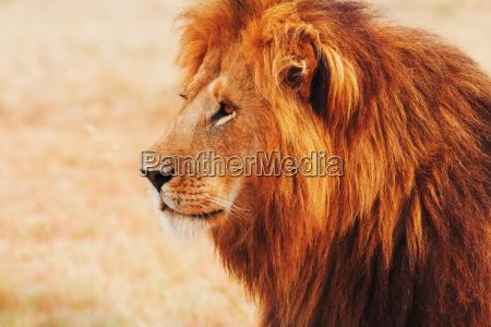 maennliche loewen in der masai mara