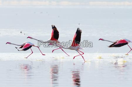 fliegende flamingo fliegende flamingo