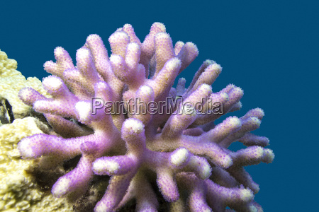 coral reef with pink finger coral