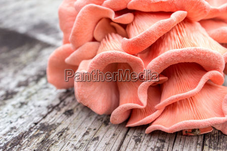 pink oyster mushroom on a