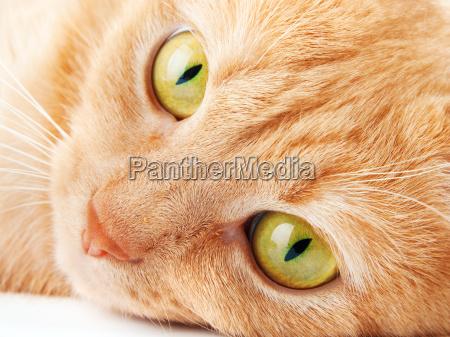 redhaired katze isoliert auf weissem hintergrund