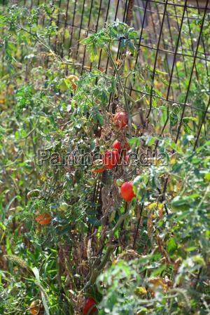 tomaten auf dem feld in spanien