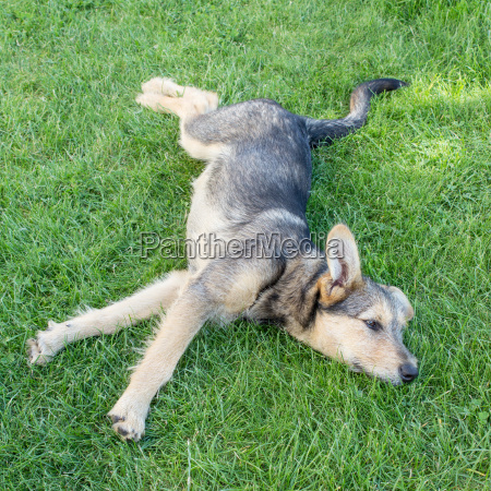 puppy lying on the grass