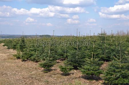 weihnachtsbaumkultur