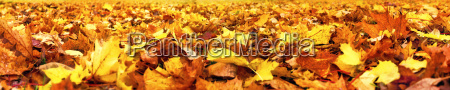 autumn leaves super wide banner