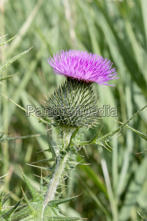 flower of a thistle in the